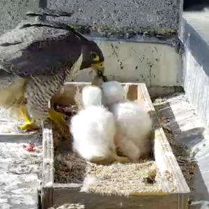 Promo image for Bird's iView: Streaming Falcons in the City